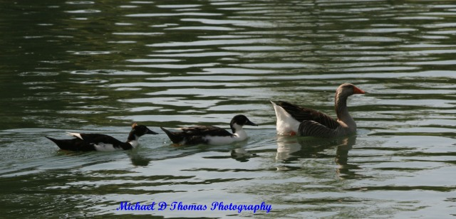 The Duck Family