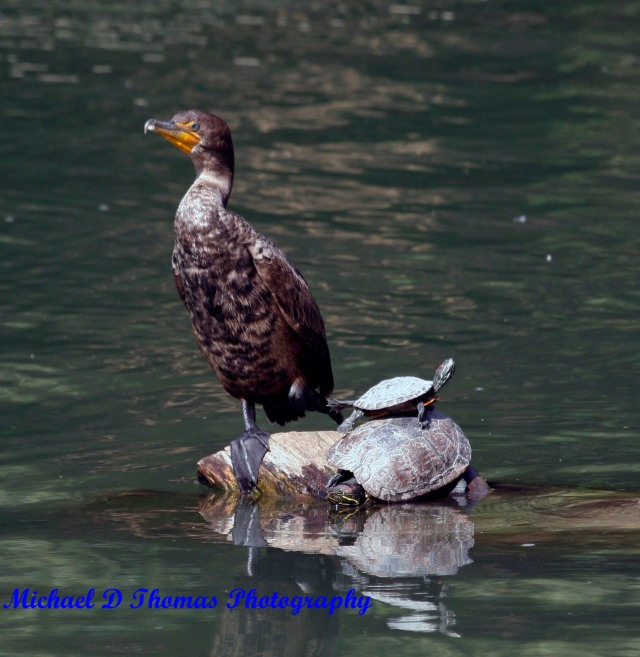 Duck and a Turtle at Golden Springs Park, Chino Hills, CA.