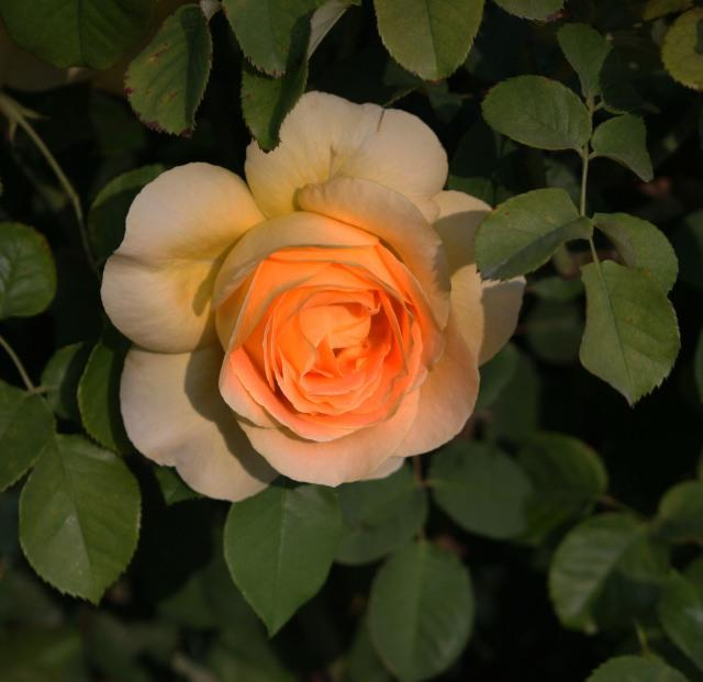 Opra Rose